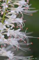 white buckeye tree flower